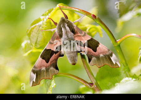 Lime Hawk-moth - Mimas tiliae - Stock Photo