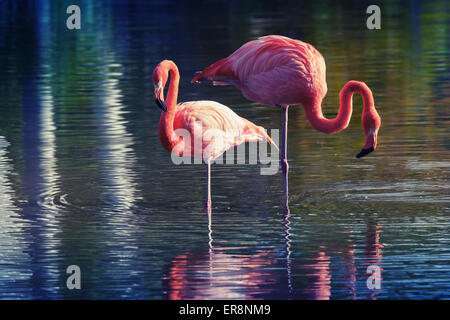 Two pink flamingos standing in the water with reflections. Stylized photo with colorful tonal correction old style - Stock Photo