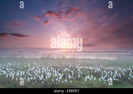 misty sunrise over swamp with cottongrass, Kampina, North Brabant, Netherlands - Stock Photo