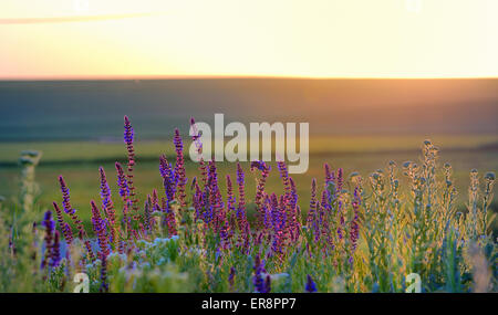 violet flowers on field at sunset - Stock Photo