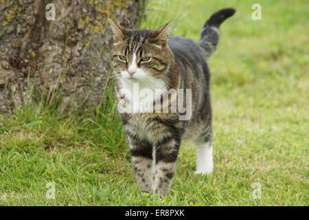 Tabby cat walking towards camera
