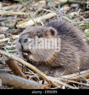 Young Eurasian or European Beaver (Castor fiber) close-up - Stock Photo