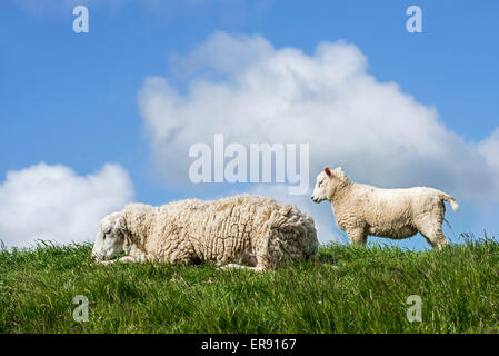 Texel sheep / Texelaar ewe with lamb in meadow on the island of Texel, West Frisian Islands, North Holland, the - Stock Photo