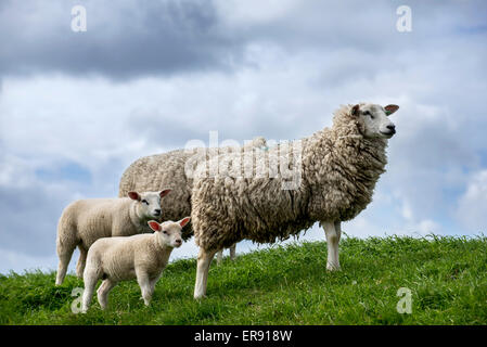 Texel sheep / Texelaar ewes with lambs in meadow on the island of Texel, West Frisian Islands, North Holland, the - Stock Photo
