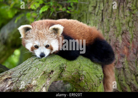 A Red Panda sitting on a tree branch - Stock Photo