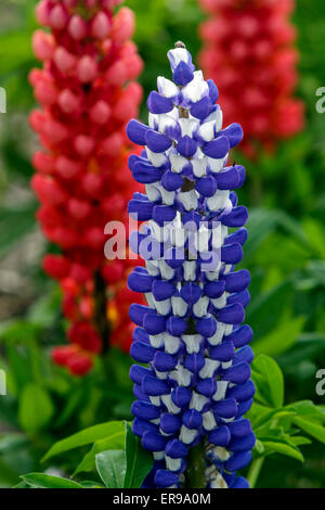 Lupine Lupines, Lupins Lupinus polyphyllus, - Stock Photo