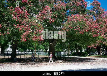 Trees in blossom Plaza San Martin Retiro Buenos Aires Argentina - Stock Photo