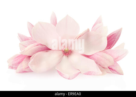 Magnolia, pink spring flowers and buds - Stock Photo