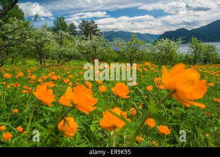 Globe flowers meadow and spruces Altai Siberia Russia - Stock Photo