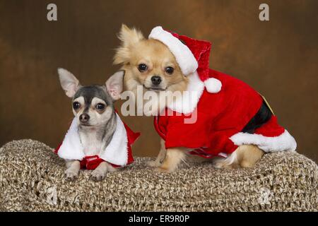2 Chihuahuas - Stock Photo