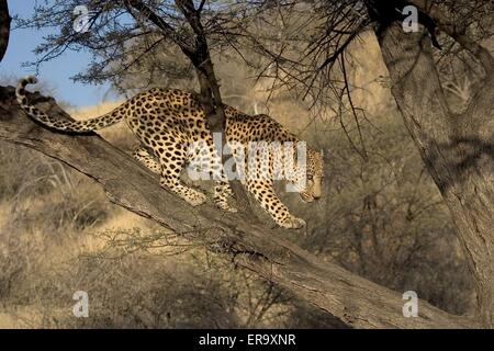 leopard on a tree - Stock Photo