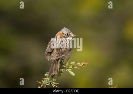 Rufous-collared Sparrow - Stock Photo