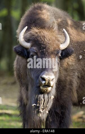 American bison portrait - Stock Photo