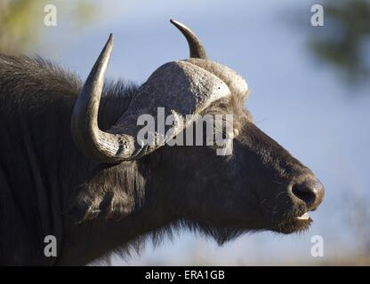African cape buffalo - Stock Photo