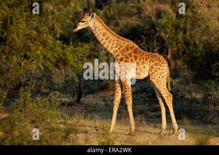 A small baby giraffe (Giraffa camelopardalis) in natural habitat, South Africa - Stock Photo