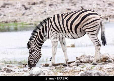 drinking plains zebra - Stock Photo