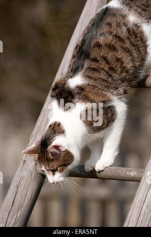 climbing domestic cat - Stock Photo