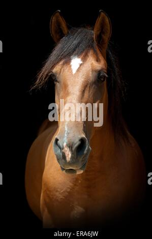 Lusitano Portrait - Stock Photo