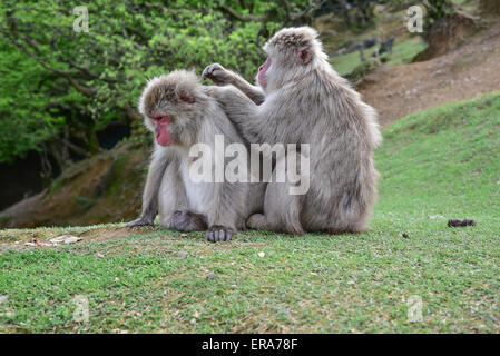 Wild Monkeys delousing in the forest - Stock Photo