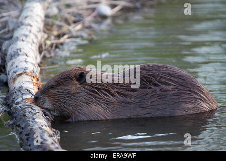 Beaver (Castor canadensis) chewing on fallen Poplar tree in pond - Stock Photo