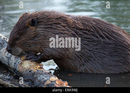 Beaver (Castor canadensis) chewing on fallen Poplar tree in pond, on Trans Canada Trail along the Bow River - Stock Photo