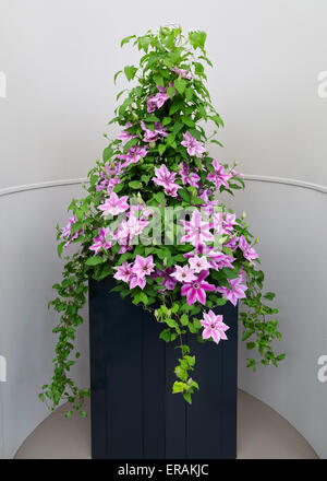 Clematis (buttercup family Ranunculaceae) flower display at the Great Pavillon at the RHS Chelsea Flower Show 2015 - Stock Photo