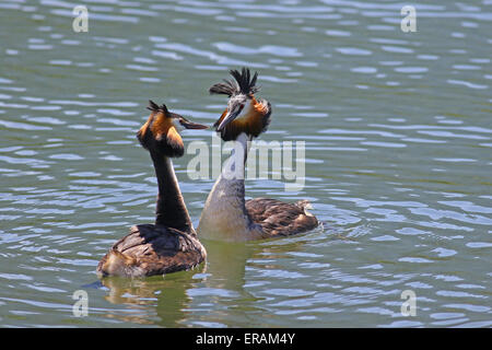 Great crested grebes love dance during mating season - Stock Photo