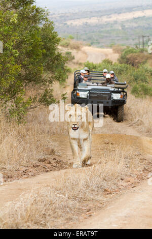 Safari guests watch wild Africa Lioness (Panthera leo) walking along track, Phinda Private Game Reserve, South Africa - Stock Photo