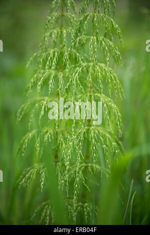 Fine foliage of a wild Equisetum (mares tail) with soft green surroundings. - Stock Photo
