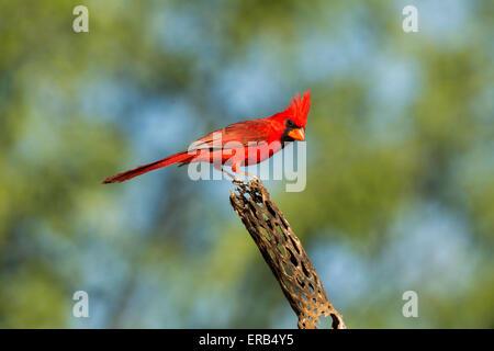 Northern Cardinal Cardinalis cardinalis Amado, Santa Cruz County, Arizona, United States 15 May      Adult Male - Stock Photo