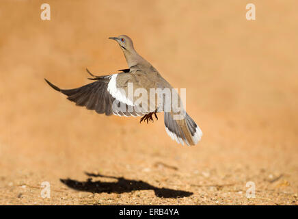 White-winged Dove  Zenaida asiatica Amado, Santa Cruz County, Arizona, United States 15 May       Adult taking flight. - Stock Photo
