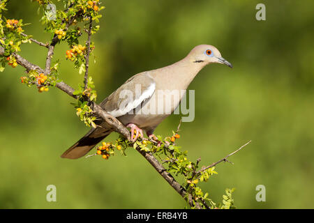 White-winged Dove  Zenaida asiatica Amado, Santa Cruz County, Arizona, United States 15 May       Adult         - Stock Photo