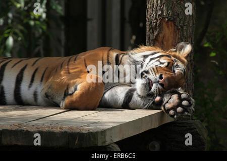 Sumatran tiger (Panthera tigris sumatrae) at Prague Zoo, Czech Republic. - Stock Photo