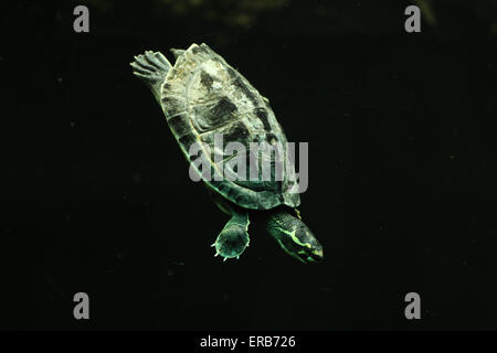 Crowned river turtle (Hardella thurjii), also known as the brahminy river turtle at Prague Zoo, Czech Republic. - Stock Photo