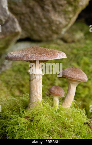 Honey Fungus, Armillaria ostoyae, growing at base of alder, Dumfries & Galloway, Scotland - Stock Photo
