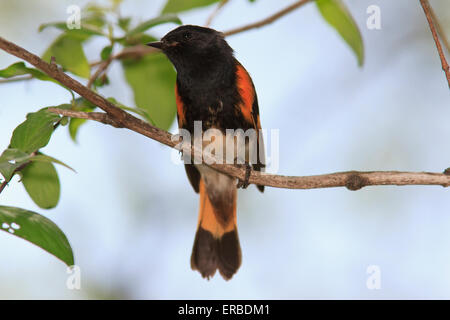Male American redstart (Setophaga ruticilla) on a tree branch, during the Spring migration. - Stock Photo