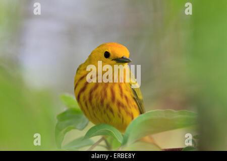 American yellow warbler (Setophaga petechia) - Stock Photo