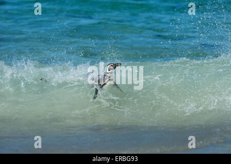 Magellanic penguin Spheniscus magellanicus, adult surfing towards shoreline in wave, New Island, Falkland Islands - Stock Photo