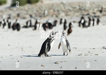 Magellanic penguin Spheniscus magellanicus, two adults meeting on sandy beach, New Island, Falkland Islands in December. - Stock Photo