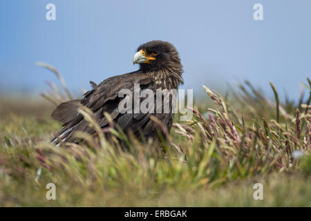 Striated caracara Phalcoboenus australis, adult perched amongst grassland, New Island, Falkland Islands in December. - Stock Photo