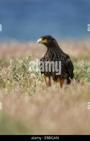 Striated caracara Phalcoboenus australis, adult amongst grassland, New Island, Falkland Islands in December. - Stock Photo