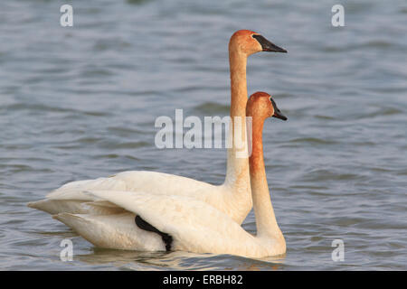 Pair of trumpeter swan (Cygnus buccinator), with necks stained brown from feeding - Stock Photo