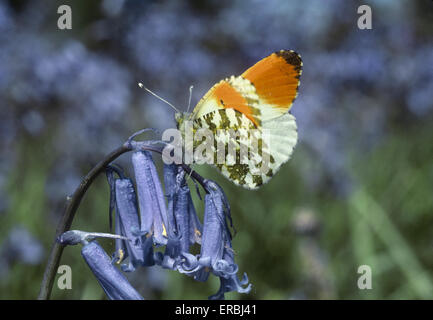 Orange-tip - Anthocharis cardamines - Stock Photo