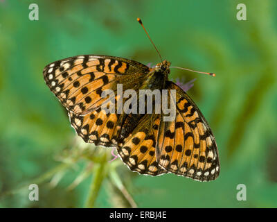 Dark Green Fritillary - Argynnis aglaia - Stock Photo