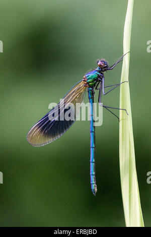 banded demoiselle (Calopteryx splendens) adult male perched on grass stem, Norfolk, England, United Kingdom - Stock Photo