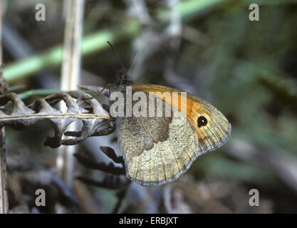 Meadow Brown - Maniola jurtina - Stock Photo