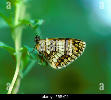 Heath Fritillary - Melitaea athalia - Stock Photo