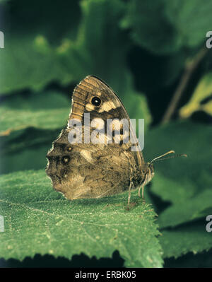 Speckled Wood - Pararge aegeria - Stock Photo