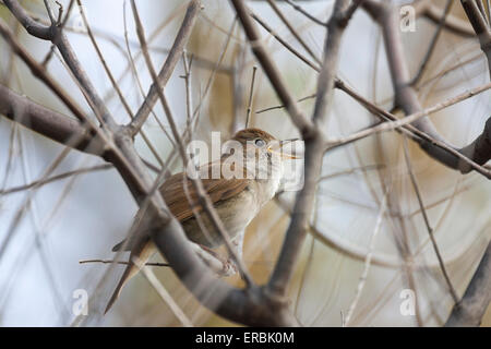 Common nightingale Luscinia megarhynchos, adult, singing from twiggy vegetation, Kalloni, Lesvos, Greece in April. - Stock Photo