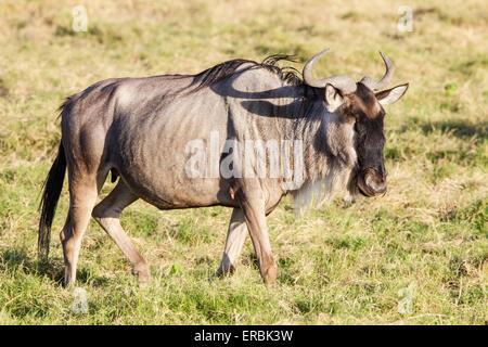 wildebeest, or gnu,  (Connochaetes taurinus) lone adult walking on plains, Masai Mara, Kenya, Africa - Stock Photo